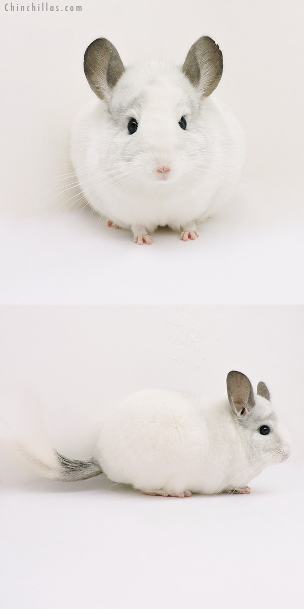15246 Show Quality White Mosaic ( Sapphire Carrier ) Female Chinchilla