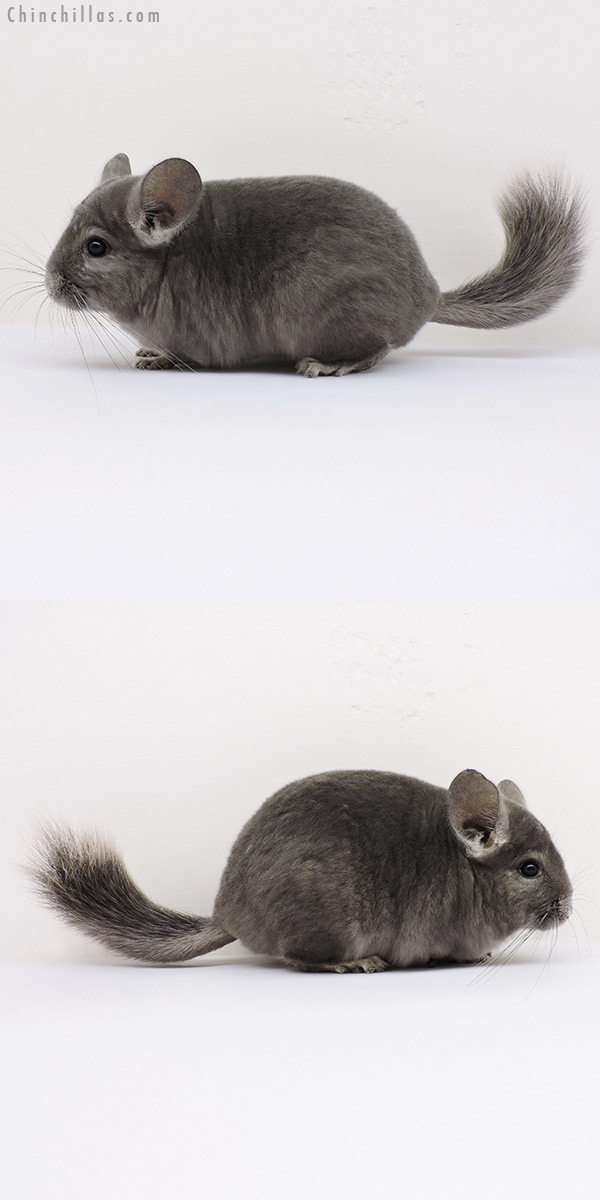 15274 Show Quality Wrap Around Violet Female Chinchilla
