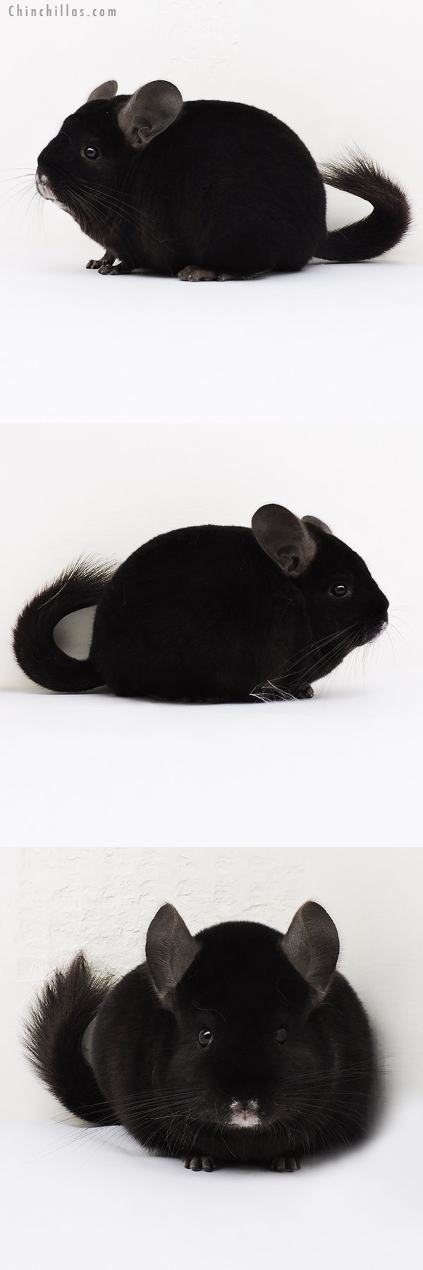 15289 Show Quality Ebony Female Chinchilla