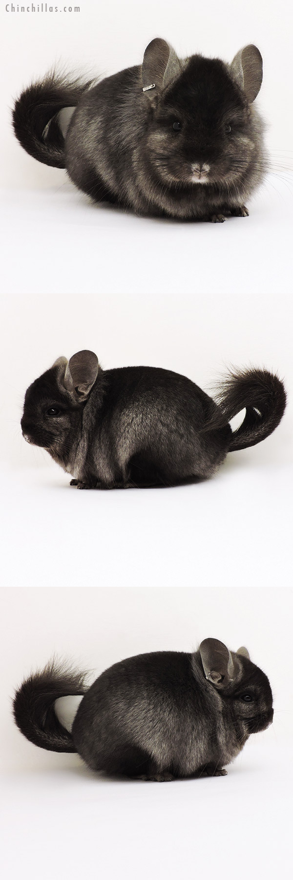 15237 Exceptional Ebony CCCU Royal Persian Angora Male Chinchilla