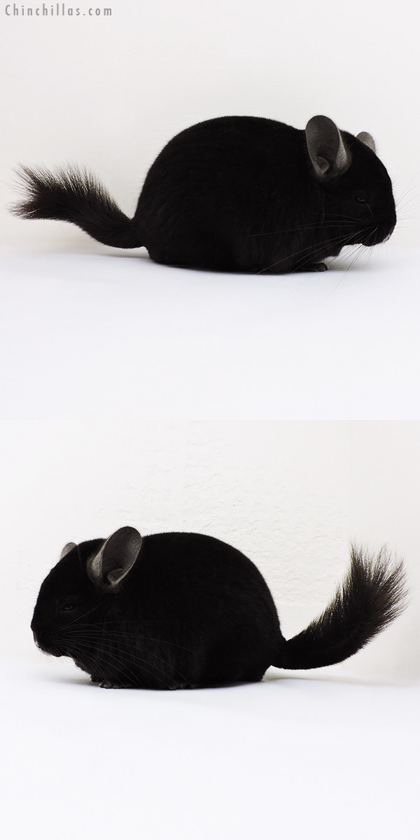 15283 Large Top Show Quality Ebony Male Chinchilla