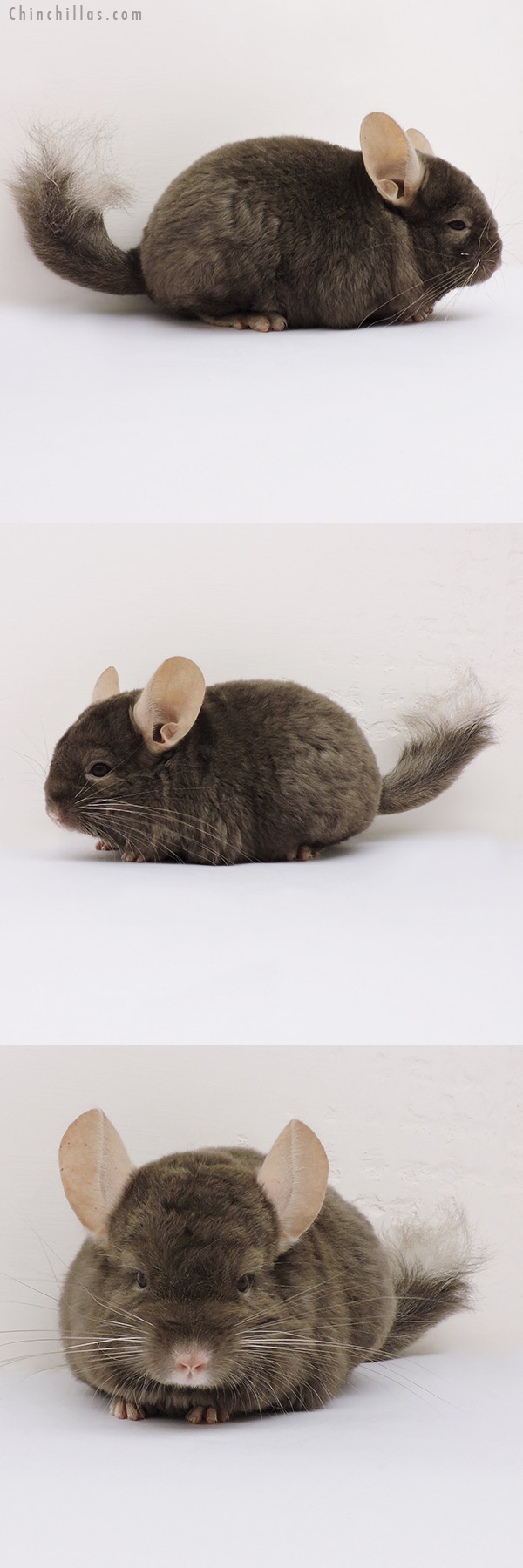 15277 Dark Tan Quasi Locken Female Chinchilla