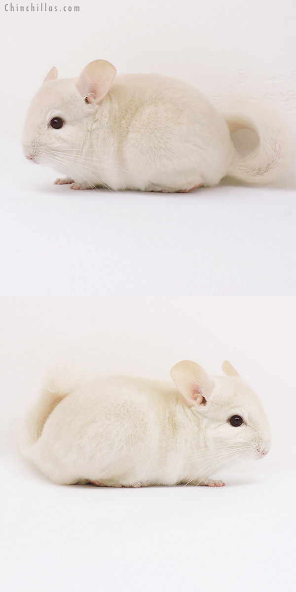 15271 Goldbar Male Chinchilla