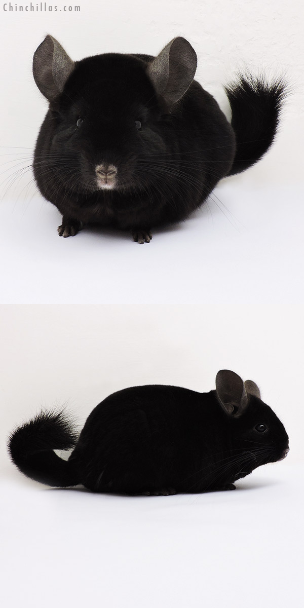 15292 Large Show Quality Ebony Female Chinchilla