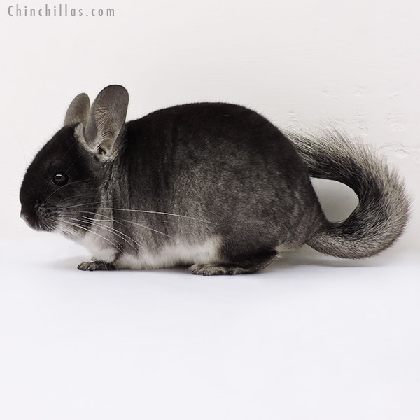 15296 Black Velvet ( CCCU Royal Persian Angora Carrier ) Male Chinchilla