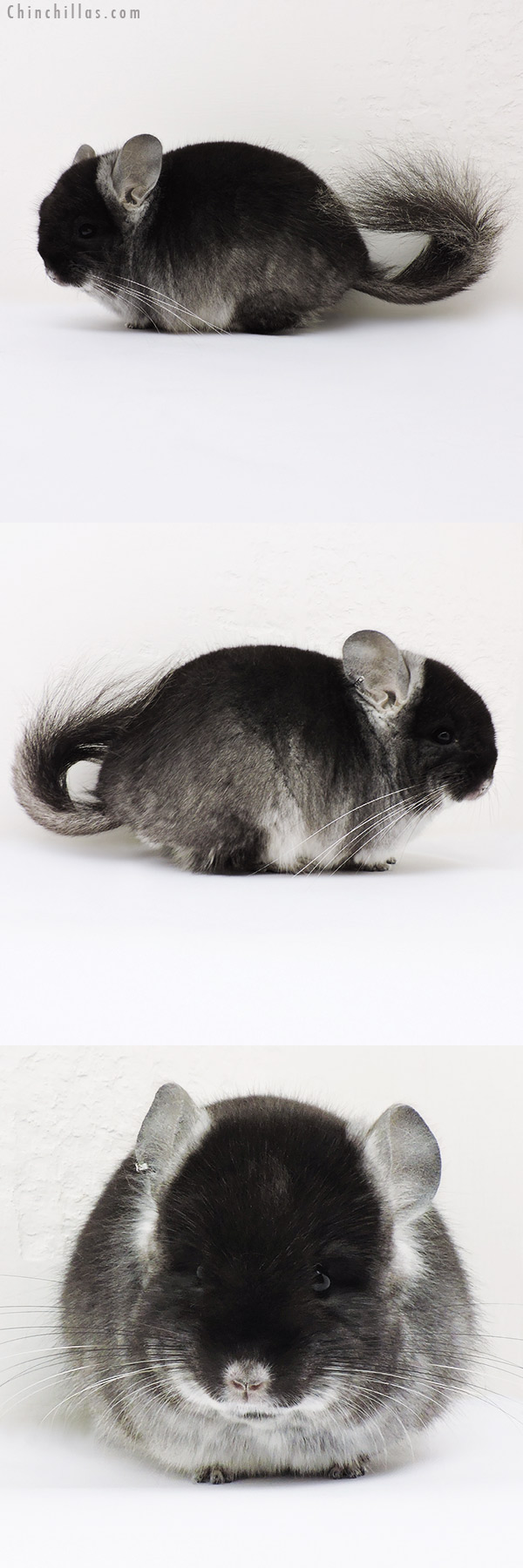 15286 Exceptional Black Velvet CCCU Royal Persian Angora Male Chinchilla