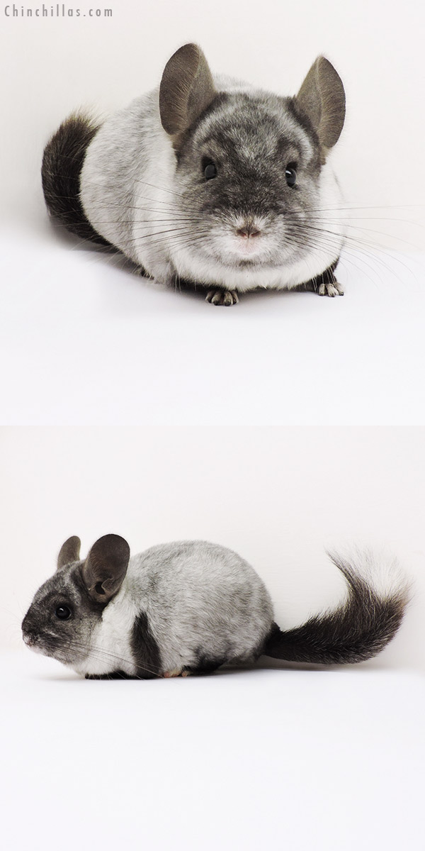 15280 Extreme Ebony Mosaic Quasi Locken Female Chinchilla