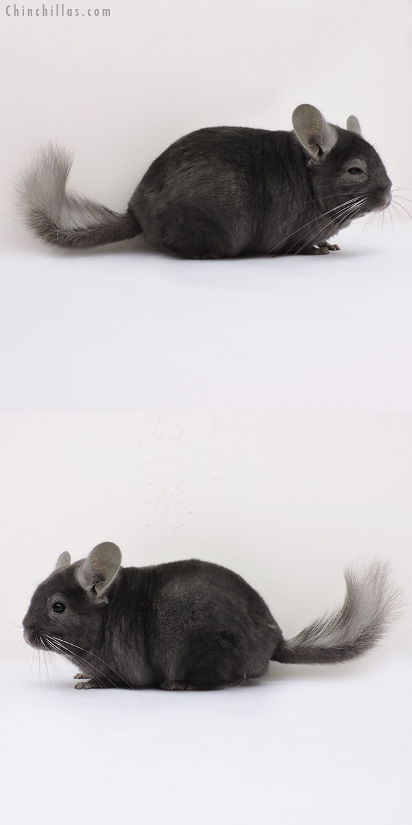 15308 Large Premium Production Quality Dark Wrap Around Sapphire Female Chinchilla