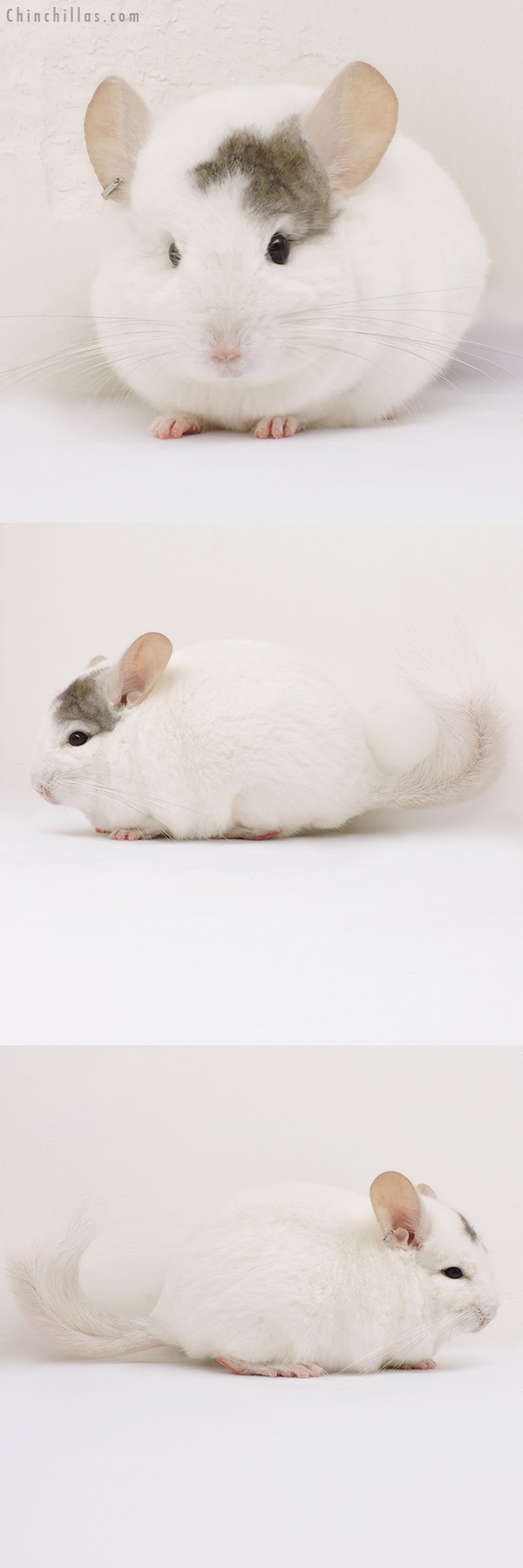 15318 Extreme Beige & White Mosaic ( CCCU Royal Persian Angora Carrier ) Male Chinchilla
