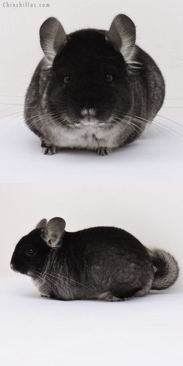 15293 Show Quality Black Velvet Female Chinchilla