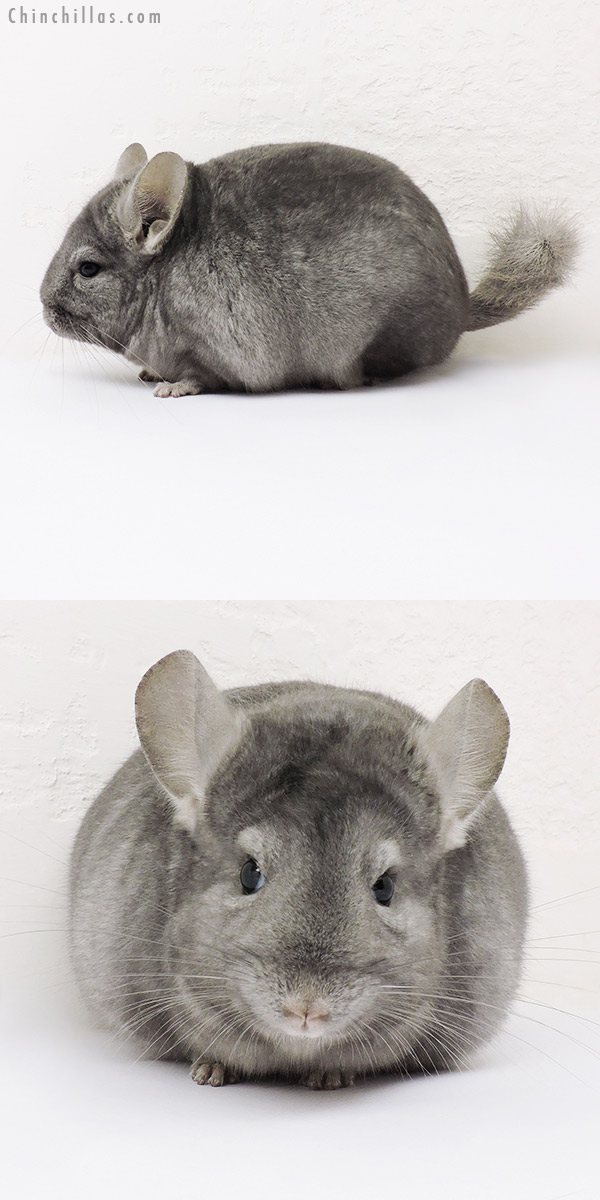 15281 Show Quality Light Wrap Around Sapphire Female Chinchilla