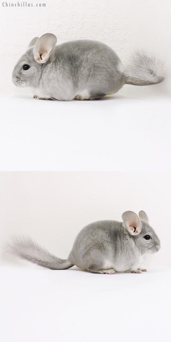 15276 Show Quality Blue Diamond Female Chinchilla