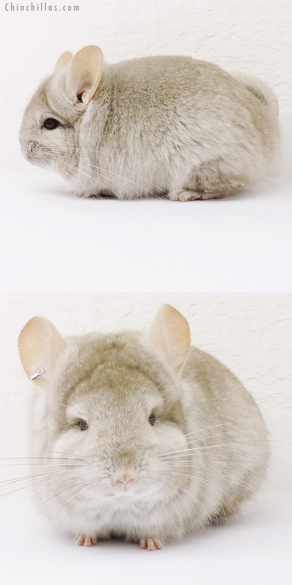 15297 Beige Royal Persian Angora Female Chinchilla