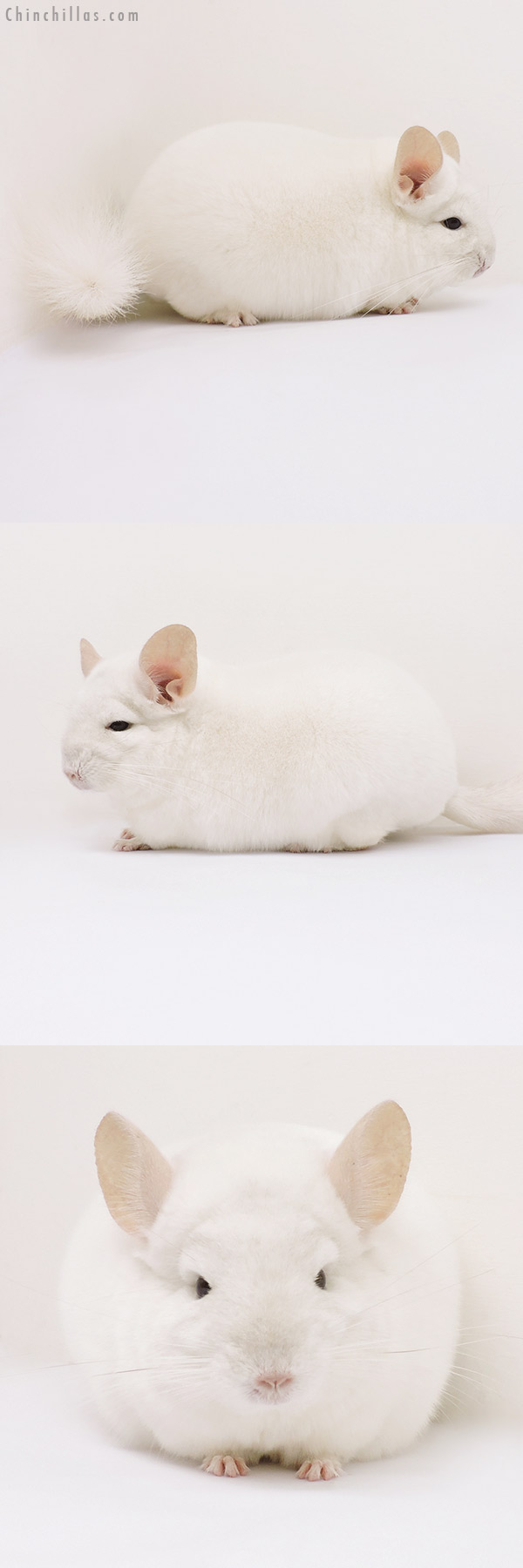 15302 Show Quality Pink White Male Chinchilla