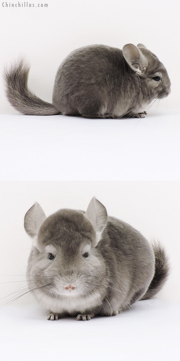 15313 Show Quality Light Wrap Around Violet Female Chinchilla