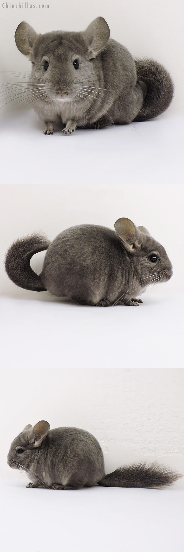 15315 Show Quality Light Wrap Around Violet Female Chinchilla