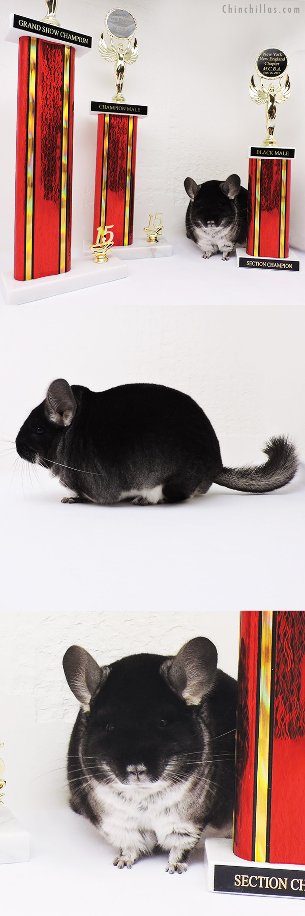 15326 Grand Show Champion - Champion Male of Show - Section Champion Black Velvet Male Chinchilla