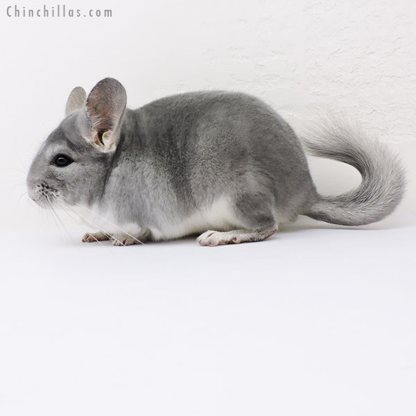 15327 Top Show Quality Blue Diamond Male Chinchilla
