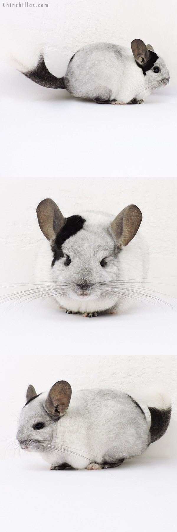 15332 Extreme Ebony & White Mosaic ( Locken Carrier ) Female Chinchilla