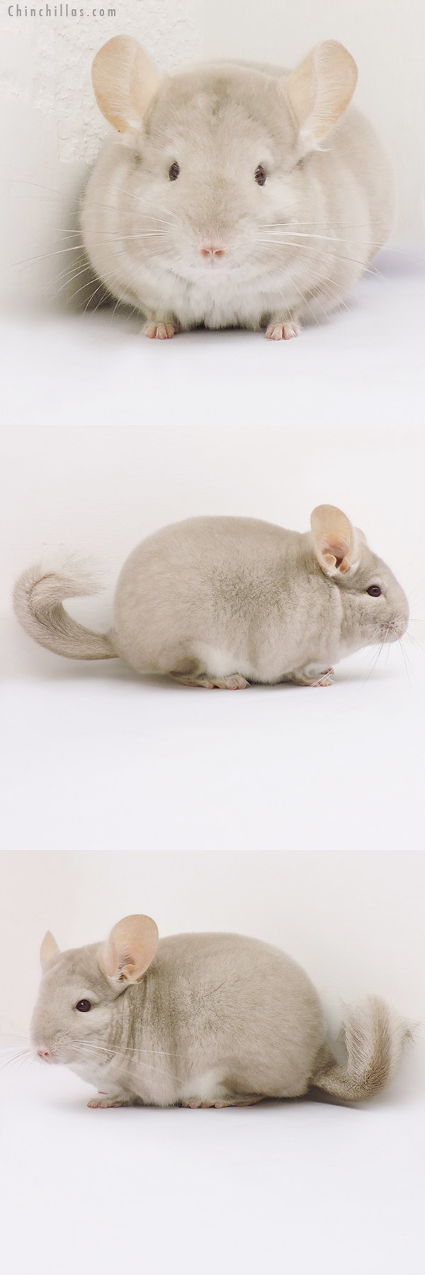 15334 Premium Production Quality Homo Beige Female Chinchilla