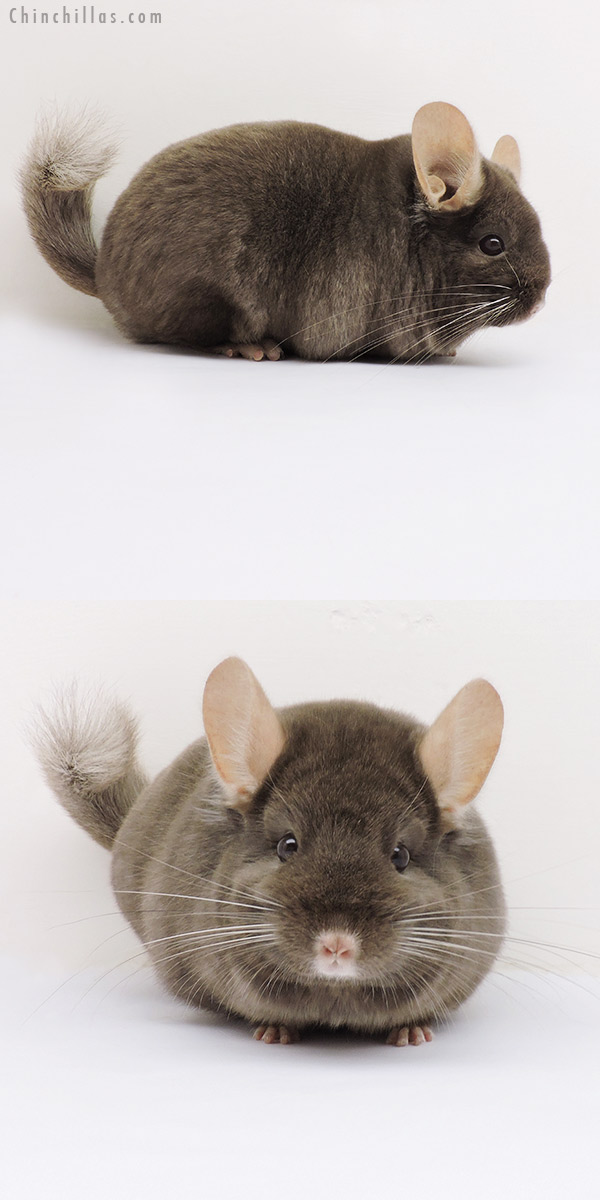 15333 Show Quality Tan Female Chinchilla