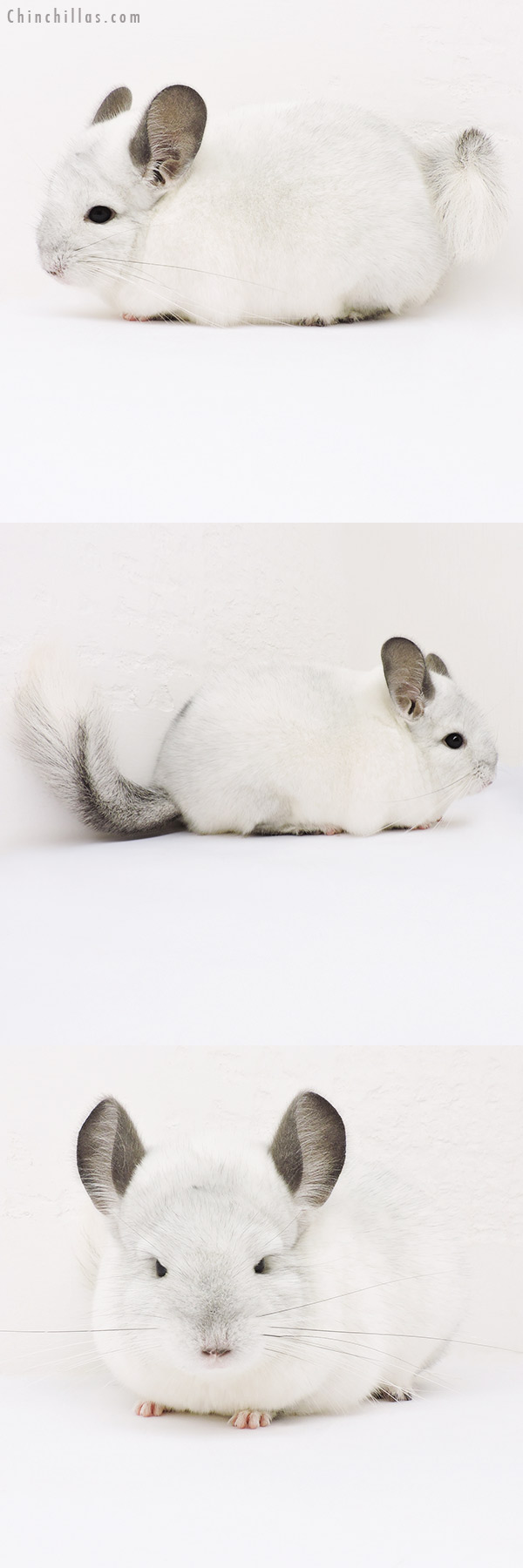 15336 Show Quality White Mosaic Female Chinchilla