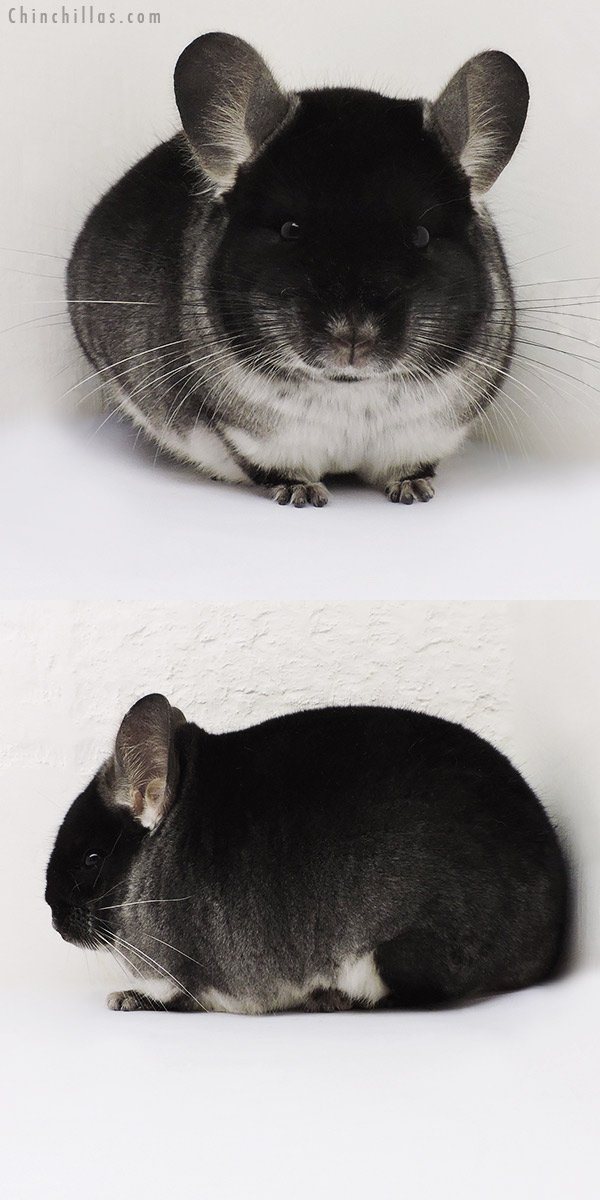 15338 Show Quality Black Velvet Male Chinchilla