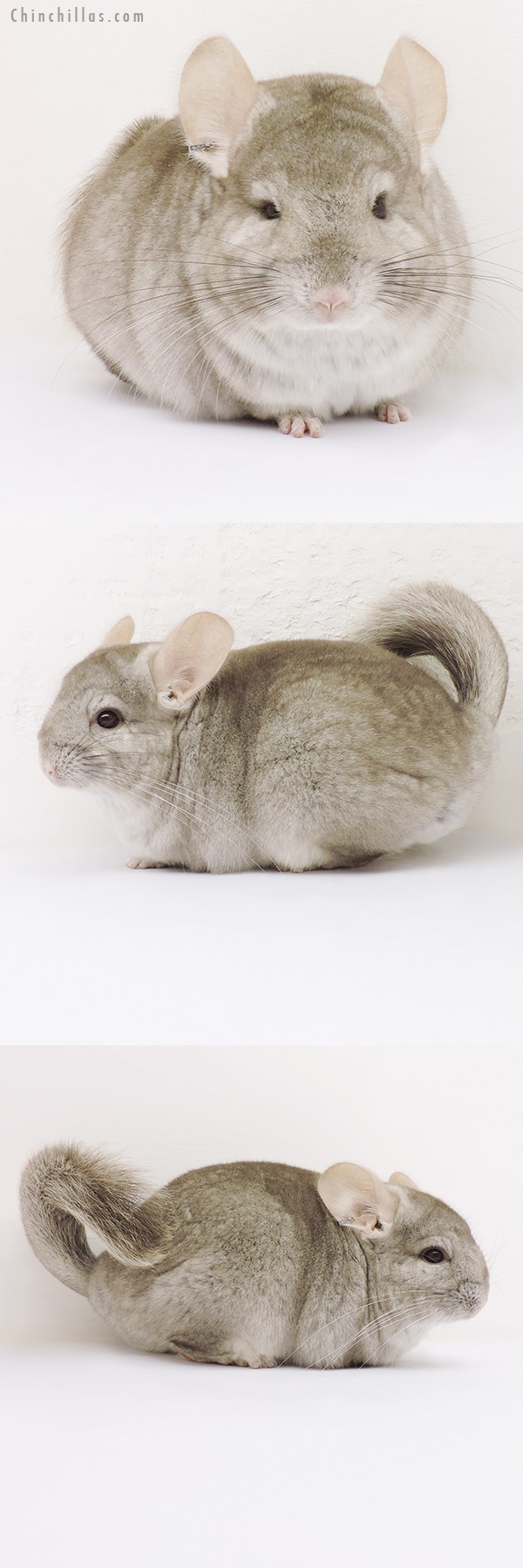 15340 Beige ( CCCU Royal Persian Angora Carrier ) Female Chinchilla