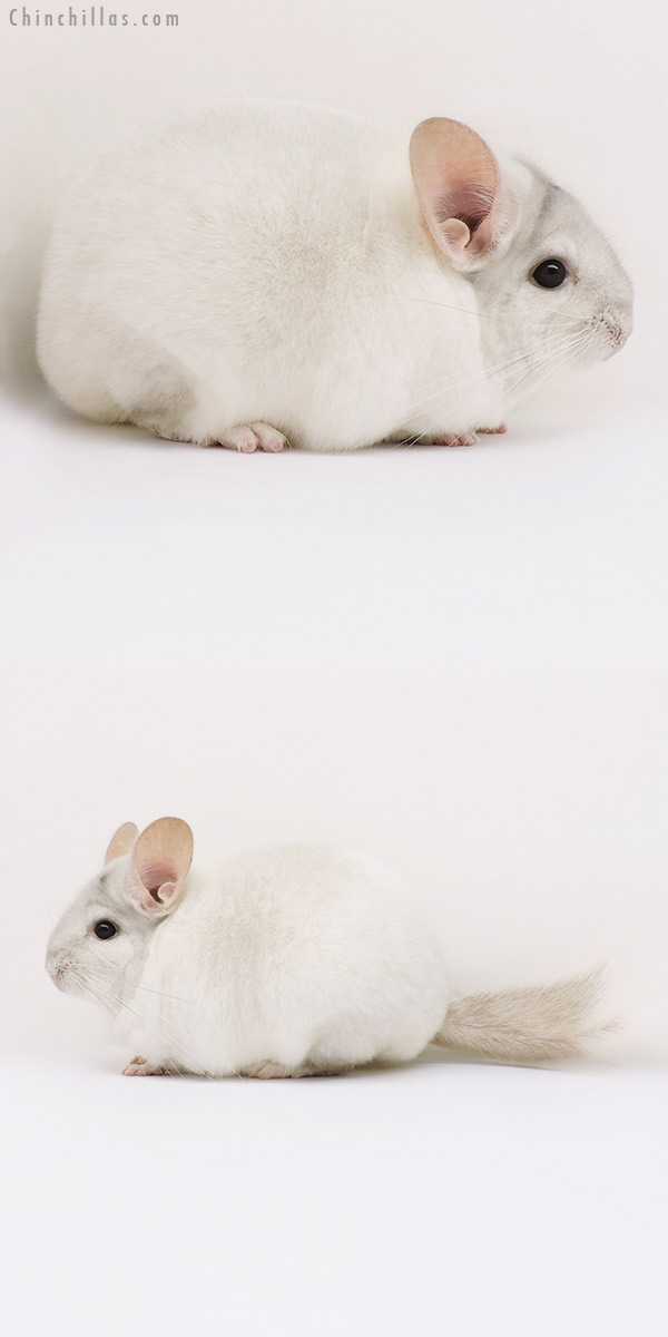 15335 Premium Production Quality Beige & White Mosaic Female Chinchilla
