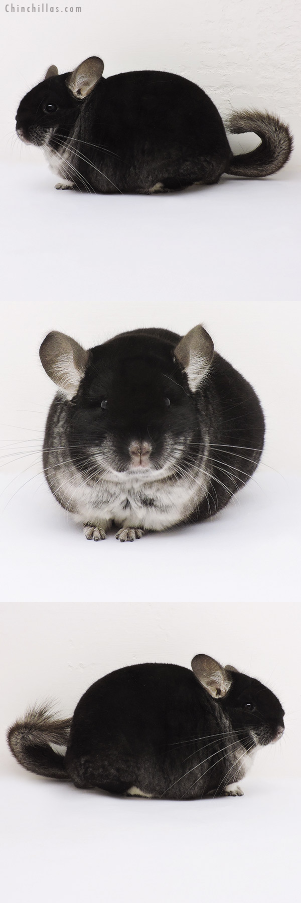 15343 Large Show Quality Black Velvet Male Chinchilla