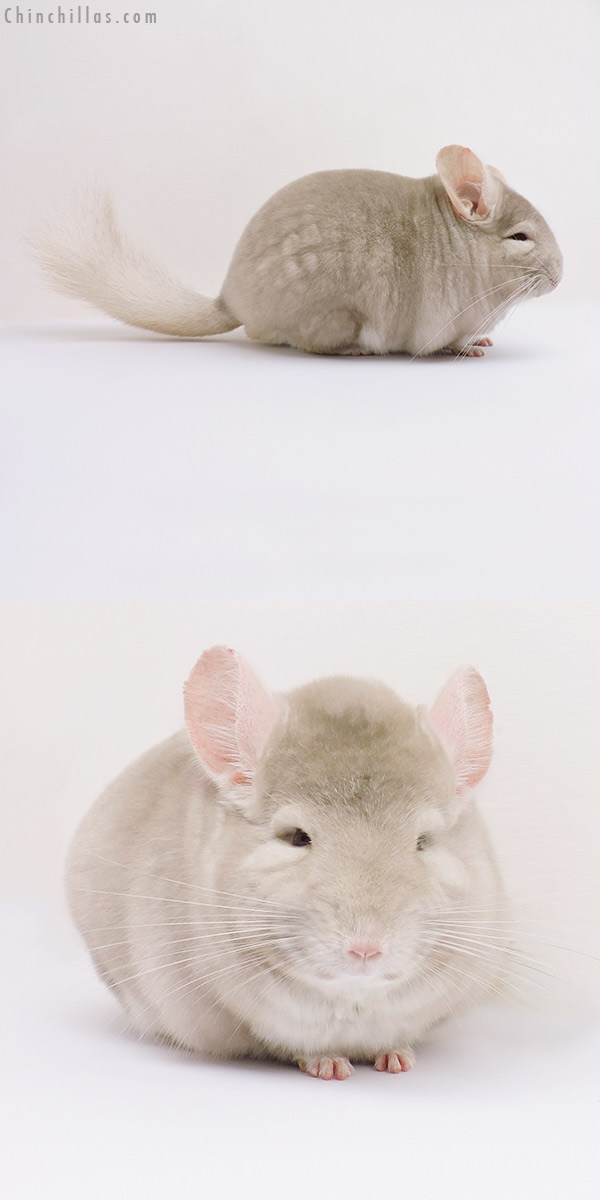 15352 Show Quality Homo Beige Male Chinchilla