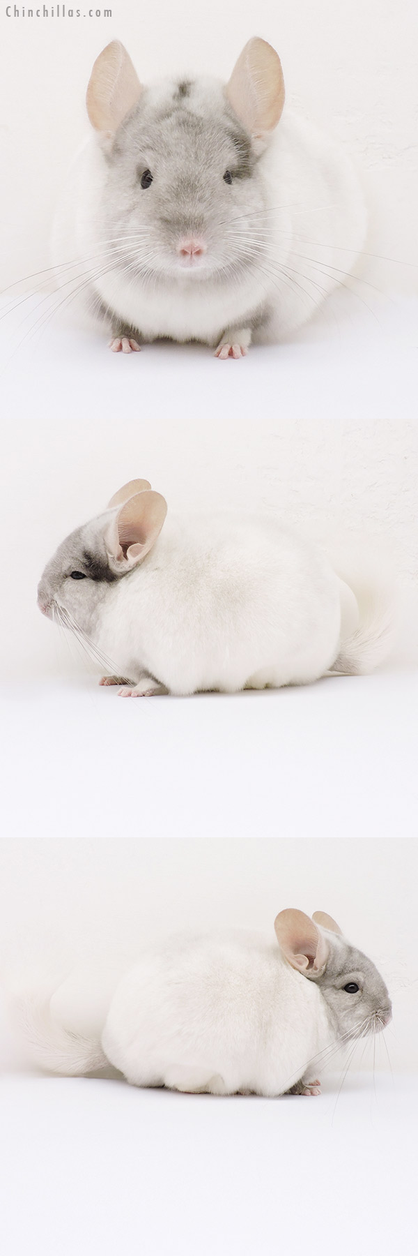 15359 Premium Production Quality Tan & White Mosaic Female Chinchilla