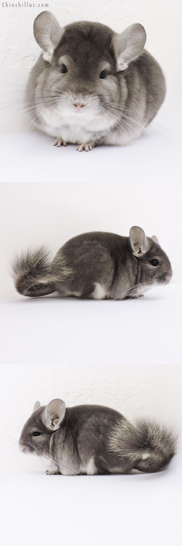 15358 Premium Production Quality Violet Female Chinchilla