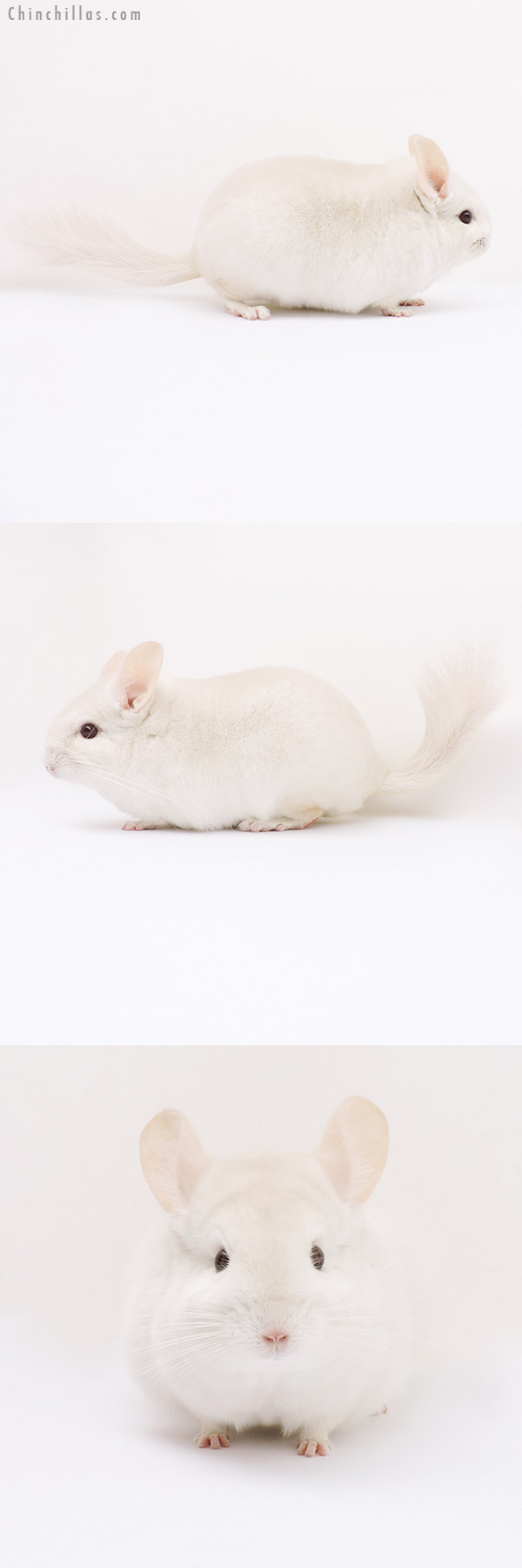15361 Goldbar Female Chinchilla
