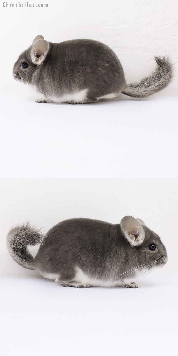 15348 Top Show Quality Violet Male Chinchilla