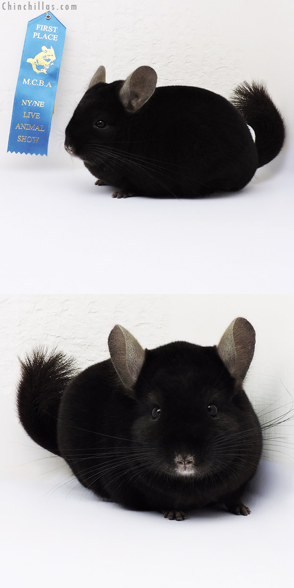 15363 1st Place Ebony Male Chinchilla
