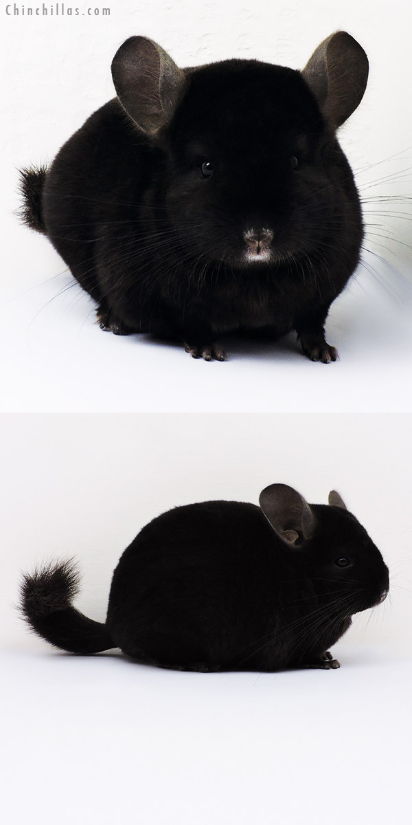 15362 Show Quality Ebony Female Chinchilla