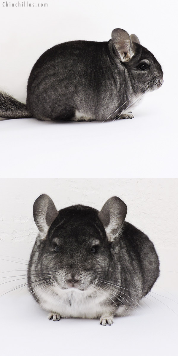16002 Blocky Premium Production Quality Standard Female Chinchilla