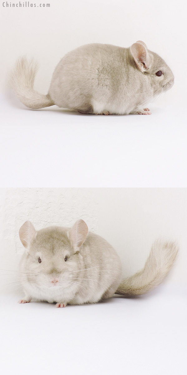 16015 Blocky Show Quality Homo Beige Female Chinchilla