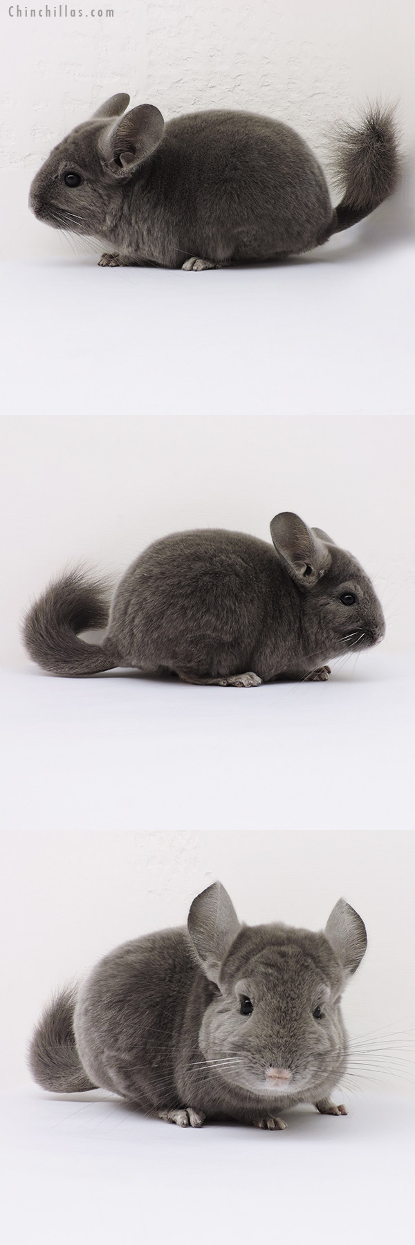 16011 Show Quality Wrap Around Violet Male Chinchilla