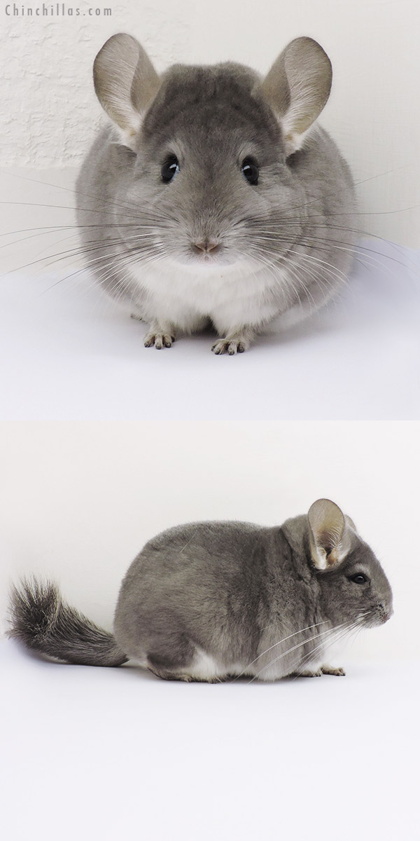 15360 Large Show Quality Violet Female Chinchilla