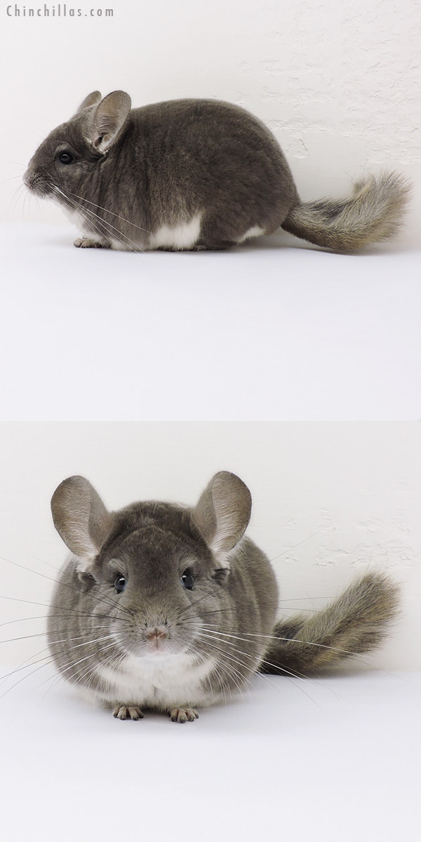 15364 Show Quality Violet Male Chinchilla