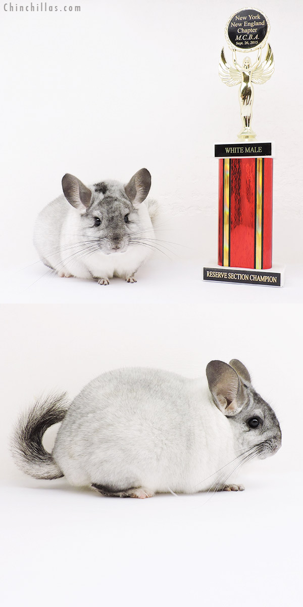 16008 Reserve Section Champion White Mosaic Male Chinchilla