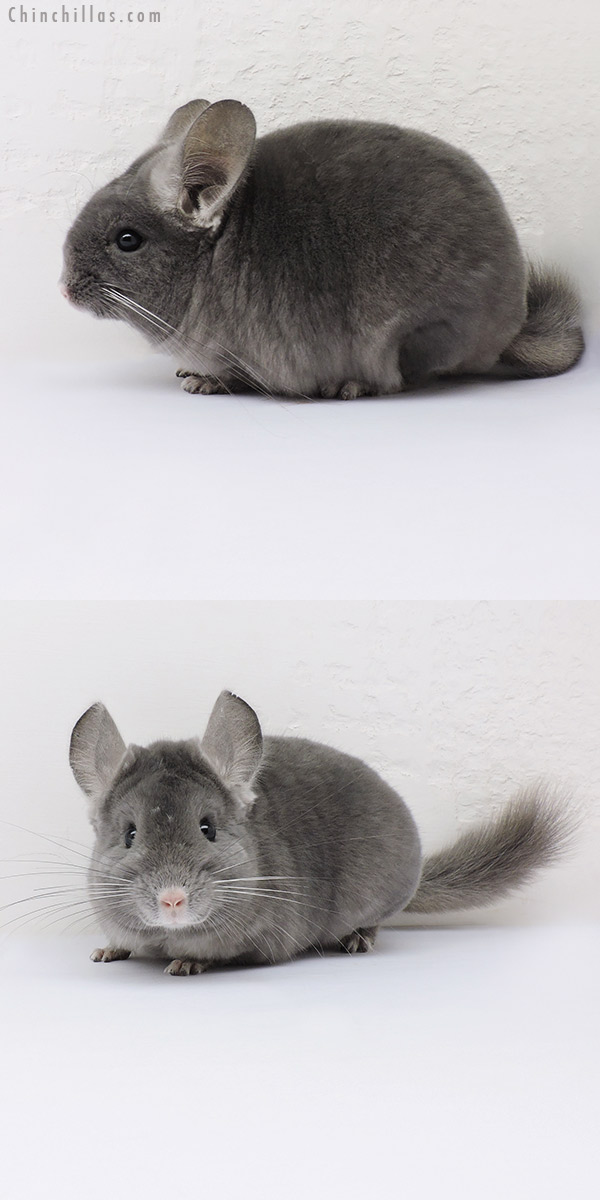 16021 Show Quality Wrap Around Violet Female Chinchilla