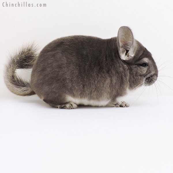 16005 Violet Male Chinchilla