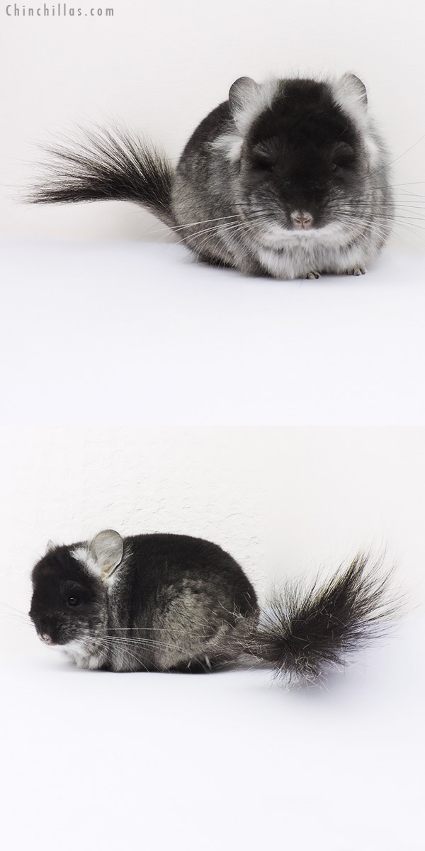 16031 Black Velvet ( Violet Carrier ) CCCU Royal Persian Angora Male Chinchilla