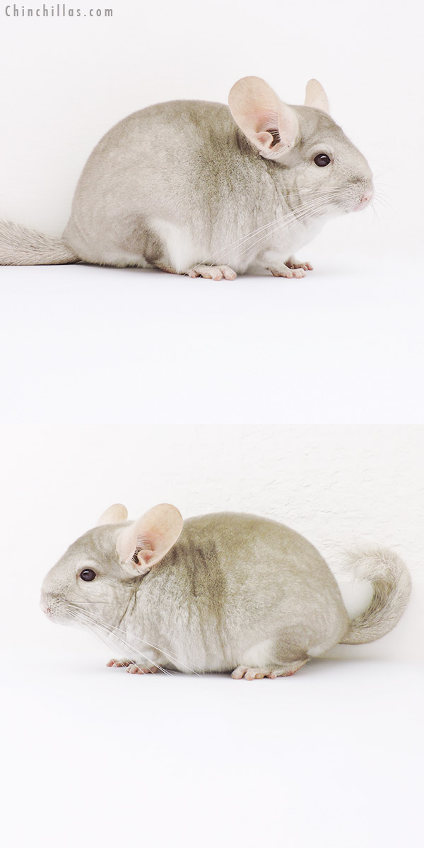 16047 Show Quality Beige / Violet Female Chinchilla