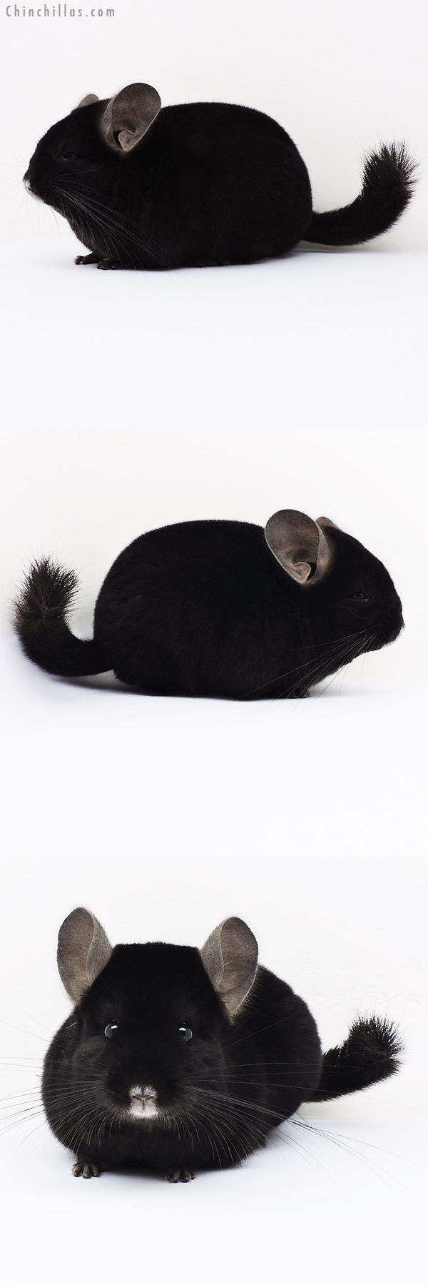 16037 Show Quality Ebony Female Chinchilla
