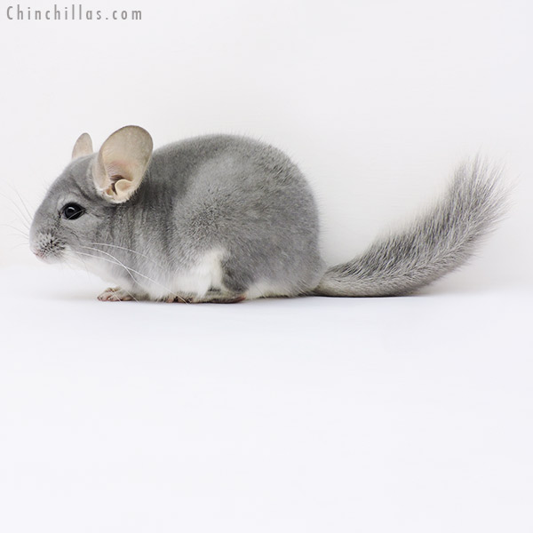 16022 Top Show Quality Blue Diamond Male Chinchilla