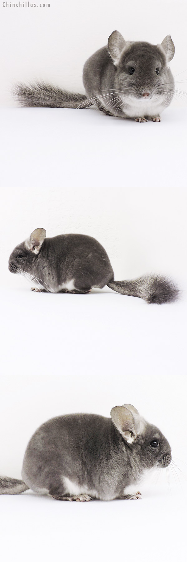 16050 TOV Violet Female Chinchilla